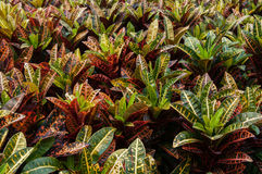 Croton plants Stock Photos