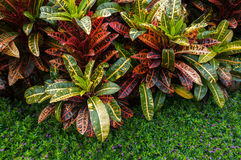 Croton plants Stock Image