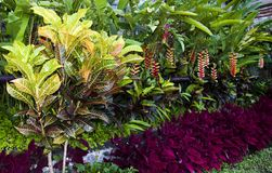 Croton rośliny z kolorowymi liśćmi obraz royalty free