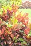 Croton rośliny w Lima Peru Fotografia Stock