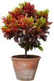 Croton tree in flowerpot. Isolated white royalty free stock photography