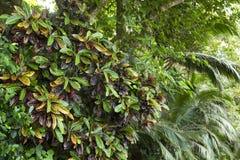 Croton tree leaves Royalty Free Stock Photos