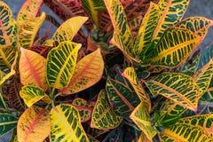 Croton u. x28; Codiaeum variegatum& x29; Anlagen mit bunten Blättern im tropischen Garten Stockbilder