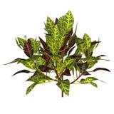 Croton (växt) vektor illustrationer