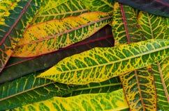 Croton, Variegated лавр, предпосылка Croton Стоковое фото RF