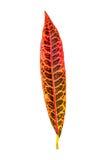 Croton,Variegated Laurel, Garden Croton Royalty Free Stock Images