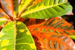 Croton variegato Immagine Stock Libera da Diritti