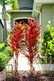 Croton varieties. Cordyline Red Sister plant and croton varieties, Taken in Florida stock image