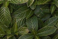 Croton, veränderter Lorbeer oder Garten Croton-Blatt für Hintergrund lizenzfreie stockfotos
