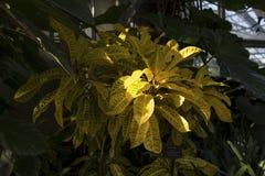 Crotonanlage bei Lincoln Park Conservatory Stockfotos