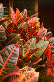CrotonLeaves Royaltyfria Foton