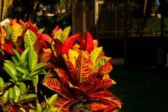 Crotons in de tuin Stock Foto