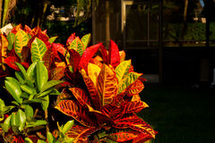 Crotons in the garden Stock Photo