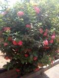 Crotons vermelhos Fotos de Stock Royalty Free