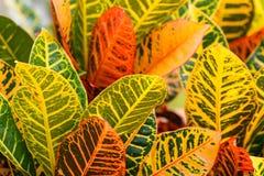 Crotonsidor Arkivbilder