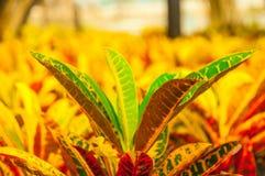 Crotonträdbakgrund färgrika Thailand royaltyfri bild