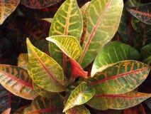 Crotonväxt i en trädgård royaltyfria bilder
