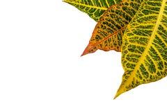 Crotonväxtsidor som isoleras på bakgrund Royaltyfri Fotografi