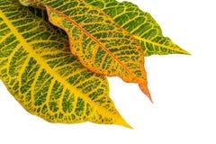 Crotonväxtsidor som isoleras på bakgrund Arkivfoto