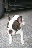 Crouch  French bulldog or unaware dog,. Crouch  French bulldog or unaware dog on the floor Stock Image