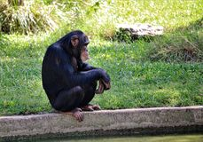Crouched Chimpanzee royalty free stock photo