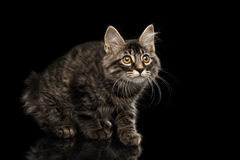 Crouched Kurilian Bobtail Kitty without tail Curious Looks,  Black Royalty Free Stock Photography