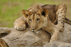 Crouched lion cub on the tree trunk. Closeup view on crouched lion cub lying on the tree trunk stock image