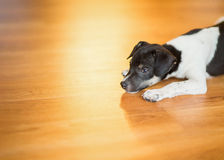 Crouched puppy stock photography