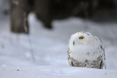 Crouched snowy owl. With wood in background Stock Photography