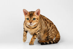 Crouching Bengal Cat on White Background Stock Image