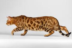 Crouching Bengal Cat on White Background Royalty Free Stock Image