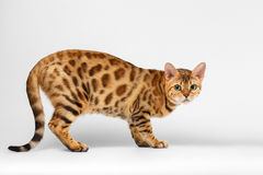 Crouching Bengal Cat on White Background Royalty Free Stock Photos