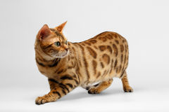 Crouching Bengal Cat on White Background Stock Photo