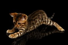 Crouching Bengal Kitty on Black Stock Images