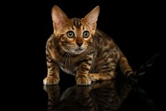 Crouching Bengal Kitty on Black Royalty Free Stock Photography