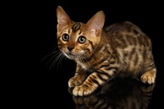Crouching Bengal Kitty on Black Stock Image