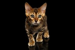 Crouching Bengal Kitty on Black Royalty Free Stock Images