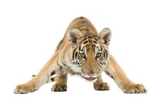 Crouching Bengal Tiger. Isolated on a white background Stock Image