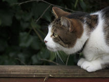 Crouching cat. A crouching cat on a fence, eyeing up his prey, poised for action Royalty Free Stock Photo