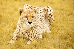 Crouching Cheetah. An african Cheetah crouching in long grass royalty free stock image