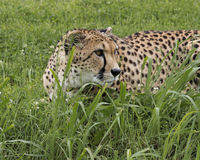 Crouching Cheetah. Cheetah laying in the lush green grass Royalty Free Stock Photo