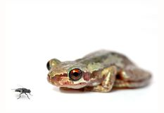 Crouching frog and fly Stock Image
