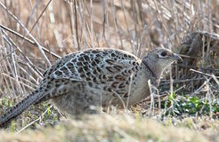 Crouching hen. Female ring-necked pheasant crouching in tall grass Royalty Free Stock Image
