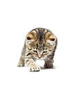 Crouching Kitten Scottish Straight breed Royalty Free Stock Photos