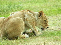 Crouching lioness Stock Image