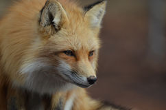 Crouching Red Fox. Gorgeous red fox in a crouch Royalty Free Stock Photo