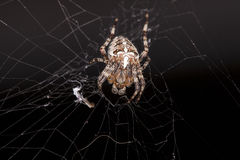 Crouching spider sitting on a spider web. Crouching spider, sitting on a spider web Royalty Free Stock Photos