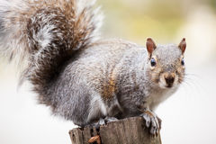 Crouching Squirrel Royalty Free Stock Photos