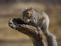 Crouching squirrel Stock Photos