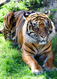 Crouching tiger. Endangered Sumatran Tiger crouching in the thicket Stock Image